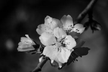 flower blossom bnw blackandwhite photography