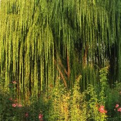 nature tree leafs willow green