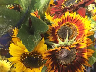 freetoedit sunflowers flowers yellow nature