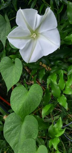 freetoedit moonflower whiteflower heartsinnature hearts