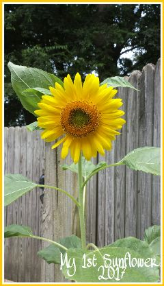 sunflower flower gardening sun sunflowers