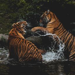 freetoedit tigers fight dramatic