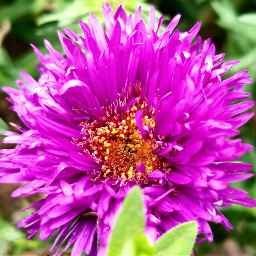 freetoedit flower nature plant peddles