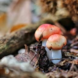 freetoedit nature mushroom mushroomhunt2017 forest