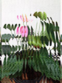 choppedeffect chopeffect anturios plantsandflowers plants