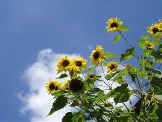 sunflower sky nofilter flower