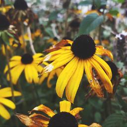 freetoedit sunflowers emotions yellow