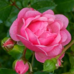 freetoedit rosesflower pinkflower noedit september2017