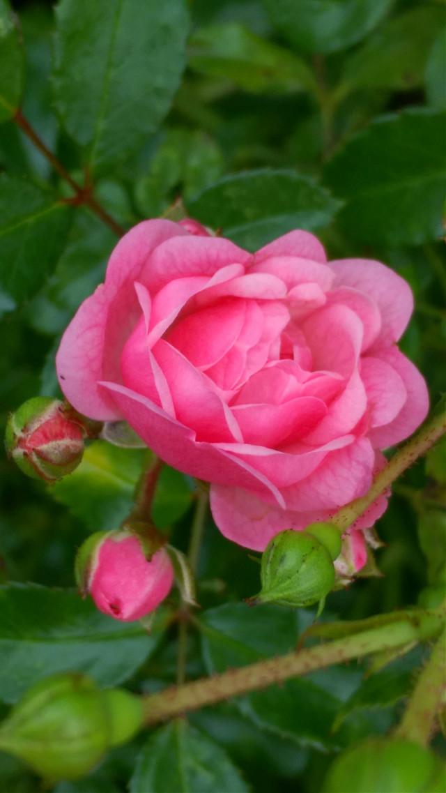 #FreeToEdit #rosesflower #pinkflower #noedit #september2017