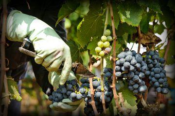 freetoedit harvest vendemmia uva grapes