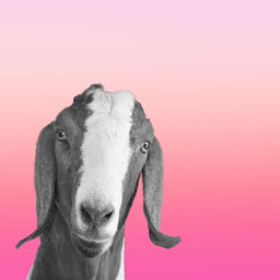 freetoedit goat goatart ombre pink
