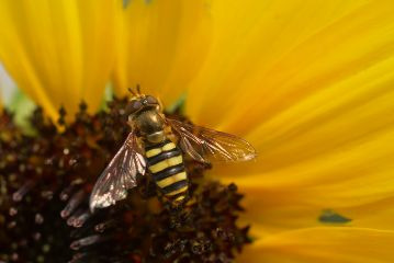 bee yellow flower nature freetoedit