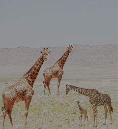 freetoedit girafferemixed girafferemix