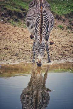 freetoedit zebraprint remixit reflection water