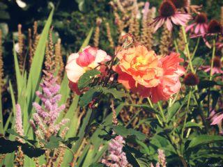 flowers roses dodgereffect nature garden