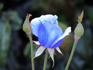 photography blue rose flower emotions freetoedit