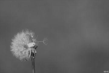 closeup dandelion nature blackandwhite freetoedit