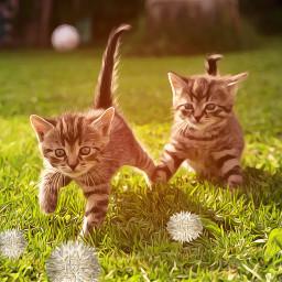 freetoedit reeditedgallery remixedgallery kittens catplay