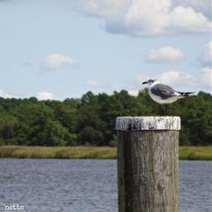 freetoedit seagull nanticokeriver myoriginalphoto