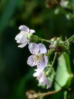 freetoedit nature bramble blossom photography