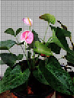 spottedeffect plants plantsandflowers anturios