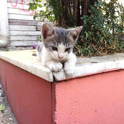 freetoedit kittens catsofpicsart
