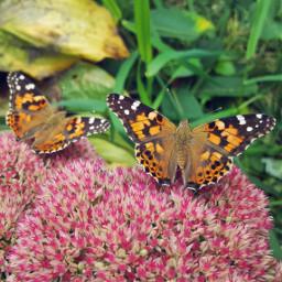 butterfly butterflies nature naturephotography naturebeauty