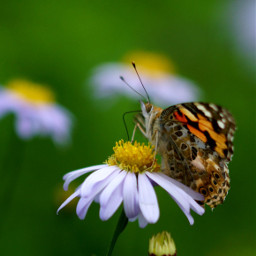 freetoedit autumn nature butterfly macro