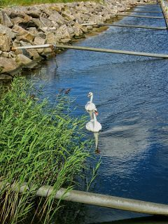freetoedit photography balticsea swans nature