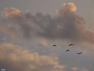 freetoedit eveningsky flyinggeese myoriginalphoto