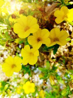 yellowflower nature beauty beautifulday