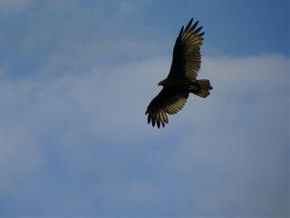vulture bluesky downbytheriver