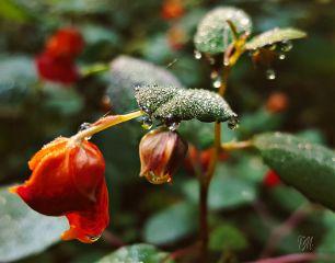 freetoedit mypic today flowers dew