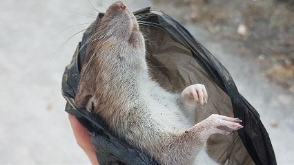 freetoedit dead ratita
