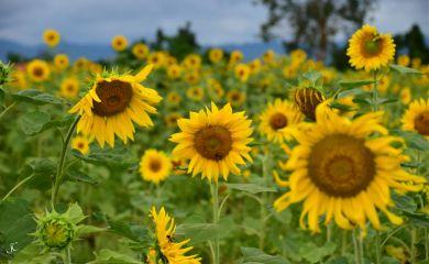 sunflowers girasoli dpcsunflowers