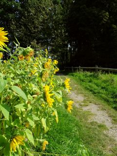 freetoedit nature endofsummer sunflowers photography