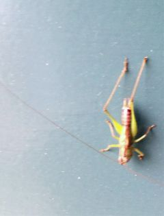grasshopper animals insects freetoedit