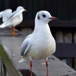 freetoedit seagull photography nature noedit