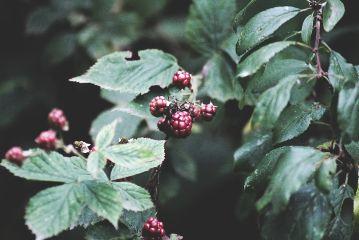 freetoedit berries autumn