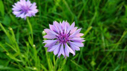 flower cornflower violet green styria
