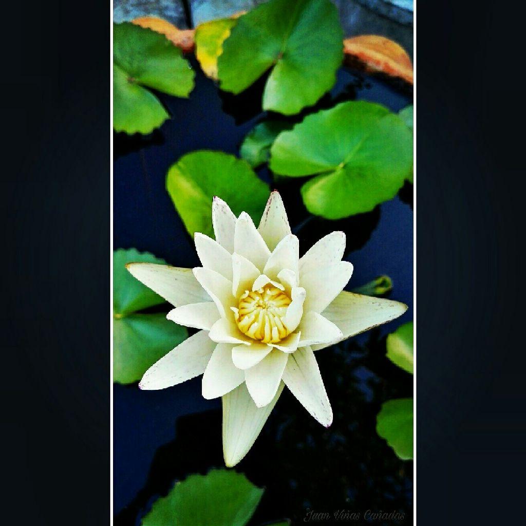 Nenufar Flowerporn Flowerstylesgf Flores Flor Lotus