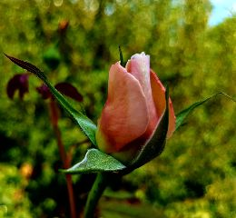 photography rose flower nature emotions freetoedit