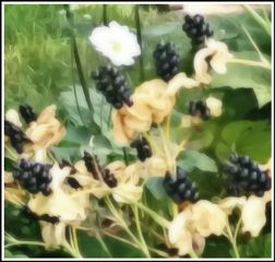 freetoedit myphotography blackberries travel tennessee