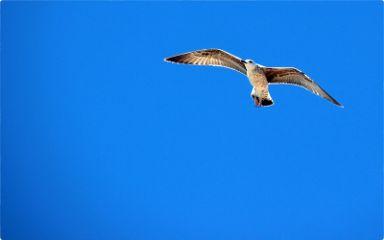 myphoto seagullsaturday seagull seagullinflight bird