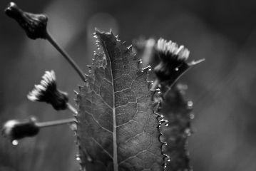 freetoedit flowers blackandwhite