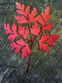 leaf red colorful freetoedit