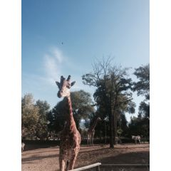 giraffe zoo mycamera