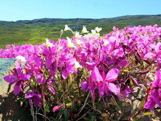 freetoedit greenland flowers pink
