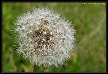 dandelion ladybug egphotography