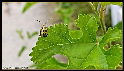 ladybug leaf egphotography